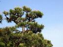 【1年間枯れ保証】【シンボルツリー常緑】クロマツ 2.5m露地 【配達指定不可/大型商品/個別送料2800円】
