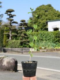 マンサク 0.5m15cmポット 1本【1年間枯れ保証】【山林苗木】