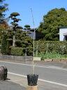 ミズナラ 0.5m10.5cmポット 1本【1年間枯れ保証】【山林苗木】