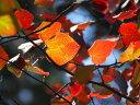 【1年間枯れ保証】【山林苗木】マルバノキ 1.2m露地 【あす楽対応】