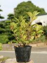 【1年間枯れ保証】【低木】ムラサキヤシオツツジ 0.2m10.5cmポット 1本