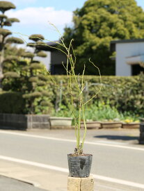 ヤマブキ 0.5m10.5cmポット 1本【1年間枯れ保証】【春に花が咲く木】