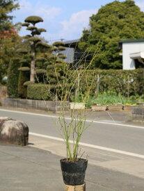 ヤマブキ 0.6m15cmポット 1本【1年間枯れ保証】【春に花が咲く木】