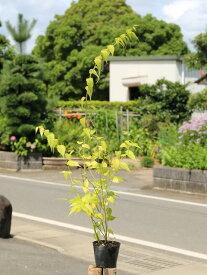 ヤマブキ 0.7m10.5cmポット 1本【1年間枯れ保証】【春に花が咲く木】