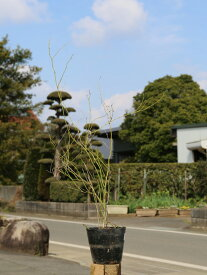 ヤマブキ 0.8m15cmポット 1本【1年間枯れ保証】【春に花が咲く木】