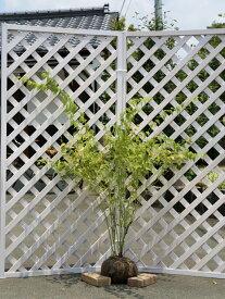 ヤマブキ 1.0m露地 2本セット 送料無料【1年間枯れ保証】【春に花が咲く木】