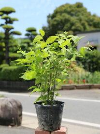 シロヤマブキ 0.3m12cmポット 1本【1年間枯れ保証】【春に花が咲く木】