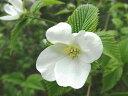 【1年間枯れ保証】【春に花が咲く木】シロヤマブキ 0.8m露地 【あす楽対応】