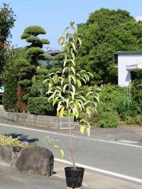 常緑ヤマボウシ 1.0m15cmポット 1本【1年間枯れ保証】【春に花が咲く木】