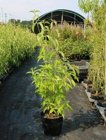 常緑ヤマボウシ株立ち 0.8m18cmポット 1本【1年間枯れ保証】【春に花が咲く木】