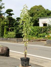 常緑ヤマボウシ株立ち 1.0m18cmポット 1本【1年間枯れ保証】【春に花が咲く木】
