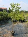常緑ヤマボウシ株立ち 1.2m18cmポット 1本【1年間枯れ保証】【春に花が咲く木】