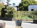 ユキヤナギ 10.5cmポット 1本【1年間枯れ保証】【春に花が咲く木】
