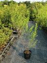 ユキヤナギ 0.5m10.5cmポット 1本【1年間枯れ保証】【春に花が咲く木】