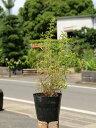 ユキヤナギ 0.5m15cmポット 1本【1年間枯れ保証】【春に花が咲く木】