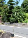 シダレヤナギ 0.5m10.5cmポット 1本【1年間枯れ保証】【葉や形を楽しむ木】