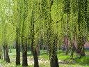 【1年間枯れ保証】【葉や形を楽しむ木】シダレヤナギ 1.0m18cmポット 【あす楽対応】
