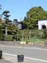 ネコヤナギ 0.2m10.5cmポット 1本【1年間枯れ保証】【葉や形を楽しむ木】