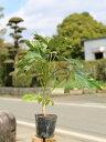 ヤツデ 0.2m10.5cmポット 10本セット 送料無料【1年間枯れ保証】【葉や形を楽しむ木】