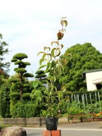 ヤマボウシ 0.7m10.5cmポット 1本【1年間枯れ保証】【街路樹&公園樹】