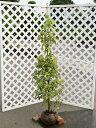 ヤマボウシ単木 1.5m露地 1本【1年間枯れ保証】【シンボルツリー落葉】