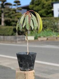 ユズリハ 0.2m10.5cmポット 1本【1年間枯れ保証】【縁起木】