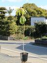 【1年間枯れ保証】【縁起木】ユズリハ 0.8m15cmポット 【あす楽対応】