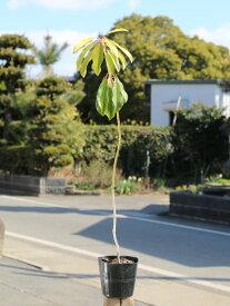 ユズリハ 0.8m15cmポット 1本【1年間枯れ保証】【縁起木】