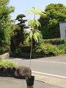 【1年間枯れ保証】【縁起木】ユズリハ 1.0m15cmポット 【あす楽対応】