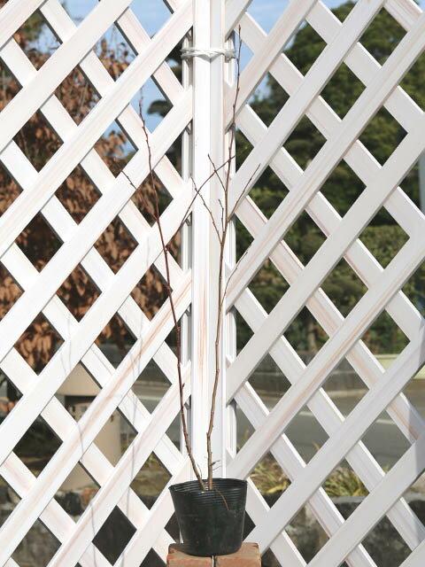 【1年間枯れ保証】【山林苗木】ヒメヤシャブシ 0.5m10.5cmポット 1本