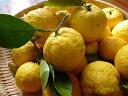 【1年間枯れ保証】【冬に収穫する果樹】ユズ/木頭柚子 15cmポット  【あす楽対応】