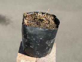 ヨメナ 10.5cmポット 1本【1年間枯れ保証】【山野草】