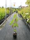 常緑ヤマボウシ/月光 0.5m9.0cmポット 1本【1年間枯れ保証】【春に花が咲く木】