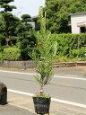 ラカンマキ 0.6m15cmポット 8本セット 送料無料【1年間枯れ保証】【生垣樹木】