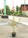 【1年間枯れ保証】【生垣樹木】レッドロビン 0.8m15cmポット 1本