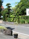 レッドロビン 1.0m15cmポット 1本【1年間枯れ保証】【生垣樹木】