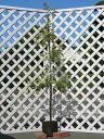 【1年間枯れ保証】【シンボルツリー常緑】レッドロビン 1.7m露地 2本セット 送料無料 【あす楽対応】