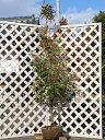 ロドレイア単木 2.3m露地 1本【1年間枯れ保証】【シンボルツリー常緑】