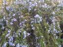 【1年間枯れ保証】【ハーブ】ローズマリー/プロストラータス 9.0cmポット 【あす楽対応】