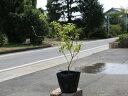 コバノランタナ白 9.0cmポット 1本【1年間枯れ保証】【低木】