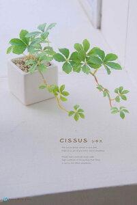フェイクグリーン 人工観葉植物ミニミニ四角鉢とシサス シガーバイン シッサス 鉢デザイン選択可 造花 観葉植物インテリアグリーン 光触媒 北欧 雑貨 ミニ観葉植物 かわいい おしゃれ 枝