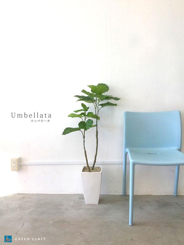 ウンべラータ高さ1m陶器鉢付送料無料 沖縄、離島を除くフェイクグリーン光触媒付インテリアグリーン人工観葉植物