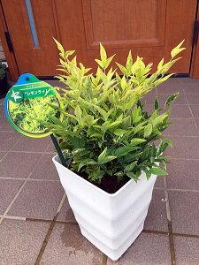 【送料無料】珍しい!海外から来たレモンライムのナンテン オシャレで大きめ6号鉢 化粧鉢 庭木 植木 常緑樹 常緑低木