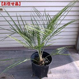 【お任せ品】ココスヤシ樹高約0.5m(根鉢含まず) 南国 シンボルツリー 庭木 植木 常緑樹 常緑高木