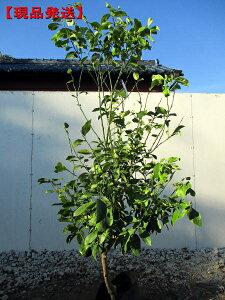 【現品発送】特大レモンの木 クックユーレカレモン樹高1.6m-1.8m(根鉢含まず) 果樹苗 シンボルツリー 庭木 植木 常緑樹 常緑高木