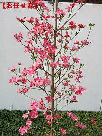 ハナミズキ 赤花樹高2.0m前後(根鉢含まず)シンボルツリー アカバナ 庭木 植木 落葉樹 落葉高木【送料無料】