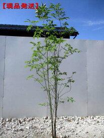 【現品発送】アオダモ樹高1.7-2.2m(根鉢含まず)シンボルツリー 庭木 植木 落葉樹 落葉高木