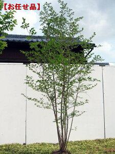 エゴノキ 株立樹高2.0m前後(根鉢含まず)シンボルツリー 庭木 植木 落葉樹 落葉高木