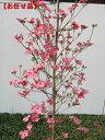 今年の花芽いっぱい アップルブロッサム [一番売れてるハナミズキ]樹高2.0m前後(根鉢含まず)シンボルツリー 庭木 植…