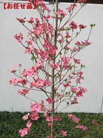 今年の花芽いっぱい アップルブロッサム [一番売れてるハナミズキ]樹高2.0m前後(根鉢含まず)シンボルツリー 庭木 植木 落葉樹 落葉高木